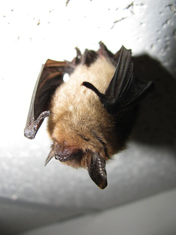 The Northern long eared bat (photo courtesy Wikipedia/Jomegat)